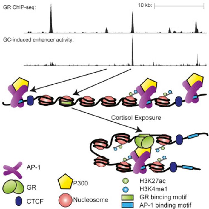 Direct glucocorticoid (GC) receptor binding sites (GBSs) encode GC-induced enhancers. Non-GC-induced GBSs cluster around and interact with direct GBSs. These interactions amplify the activity of directly bound GC-inducible enhancers /Credit: Cell Vockley et al