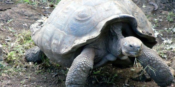 A Galapagos giant tortoise.