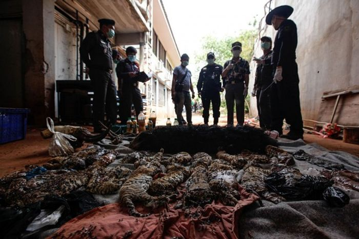 Following the findings of 137 live tigers, authorities also found 40 lifeless cubs in a freezer.