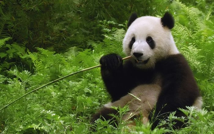 Giant pandas love bamboo, but is there really enough out there in the wild to support a possible reintroduction of the species to the wild?