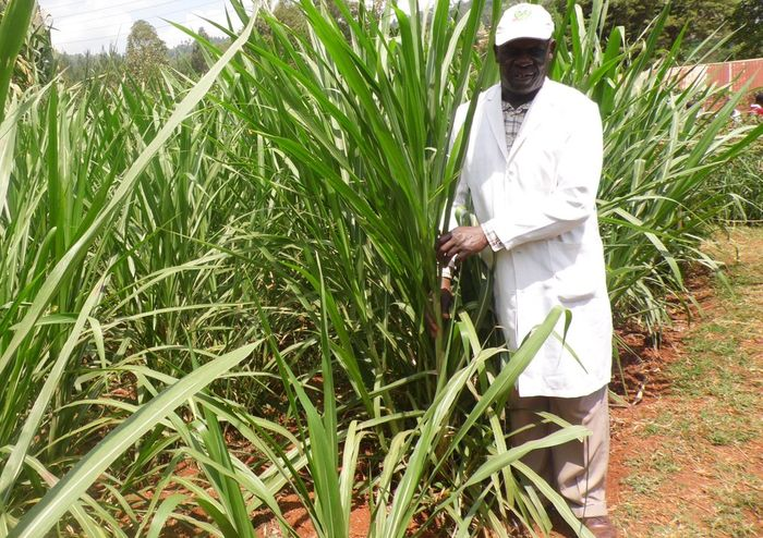 Small dairy farmers could replace cows' diet with Napier grass to reduce greenhouse gas emissions. Photo: farmbizafrica.com