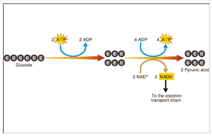 Glycolysis is a metabolic pathway that breaks down glucose and creates free energy.