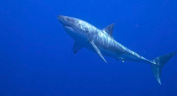 Great White Shark / Credit: Elias Levy