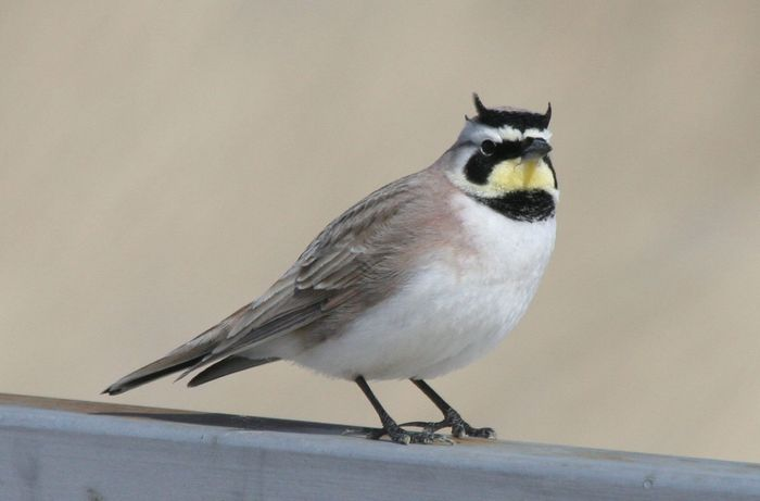 The Horned Lark's light-colored feathers makes spotting soot easy. Photo: Natural History of Orange County, California