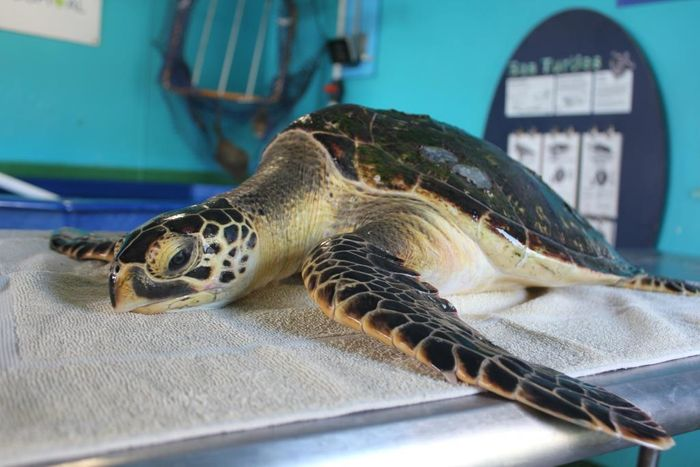 This photo shows the potentially hybrid turtle that was rescued at sea.