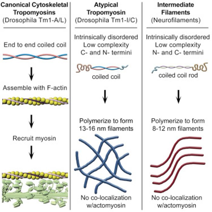 A graphical comparison of insect tropomyosins and neurofilaments