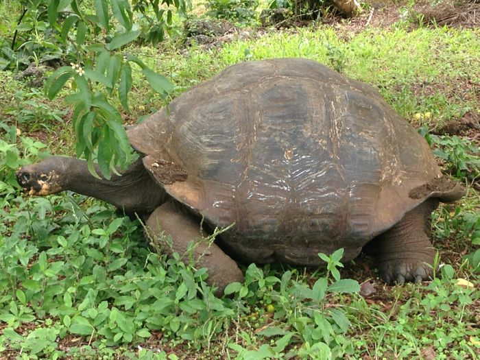 Giant tortoises like this one are breed in hatcheries on several of the islands in order to boost populations. Photo: Author
