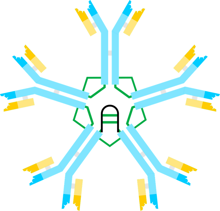 Antibody IgM