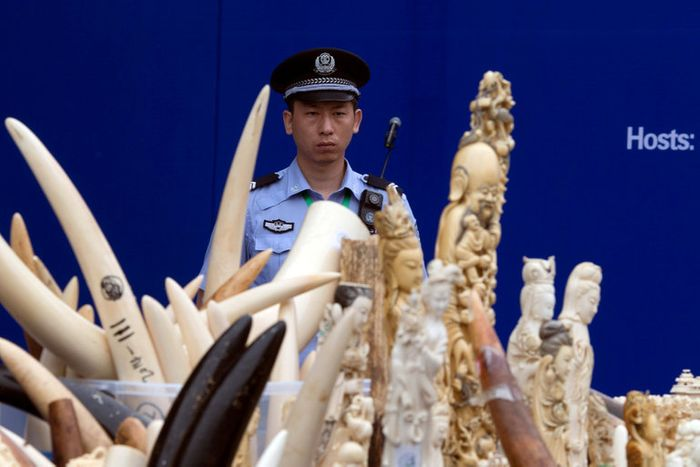 A Chinese police officer watched over ivory products being prepared for destruction during a ceremony in Beijing in 2015. China's ban announced on Friday would shut down the world's largest domestic ivory market. Credit Ng Han Guan/Associated Press