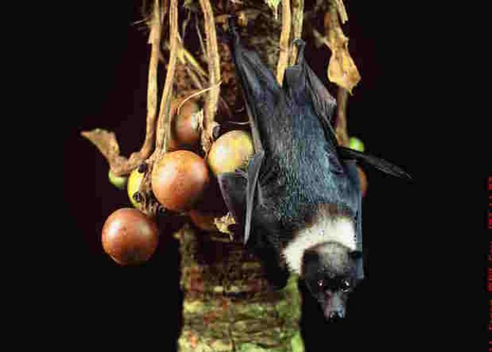 The Chamorro's diet of cycad seeds and flying foxes also contains a deadly neurotoxin.