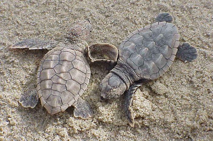 A couple of baby loggerhead sea turtles.