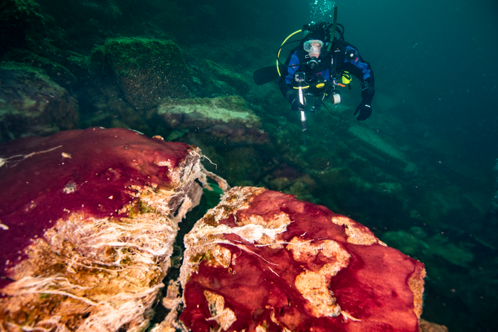 A scuba diver observes the purple, white and green microbes on rocks in Lake Huron's Middle Island Sinkhole. / Credit: Phil Hartmeyer, NOAA Thunder Bay National Marine Sanctuary