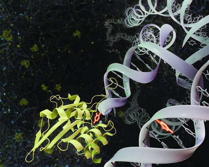 APOBEC3A enzyme (yellow) attacks DNA (white) by promoting the deamination of cytosine (bright orange), which causes genetic mutations in the cell. / Credit: UCI School of Medicine