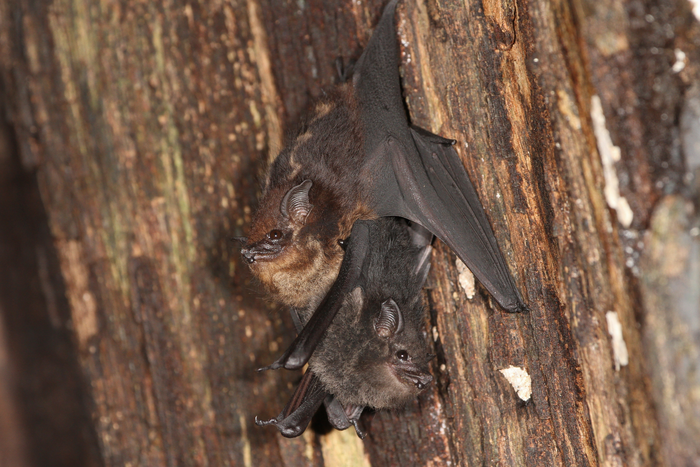 Mother-pup pair of Saccopteryx bilineata in the day-roost. The pup is attached to its mothers' belly. / Credit: Michael Stifter
