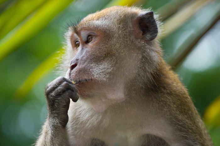 Crab-eating macaque (Macaca fascicularis), portrait, Singapore / Credit: Eigene Aufnahme von André Ueberbach/Own production Author:André Ueberbach