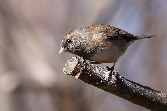 A North American dark eyed junco which experiences changes to its bill size.