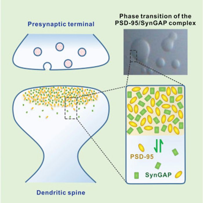The Synapse and the phase-transtition of SynGAP/PSD-95 complex / Credit: Cell Zeng et al