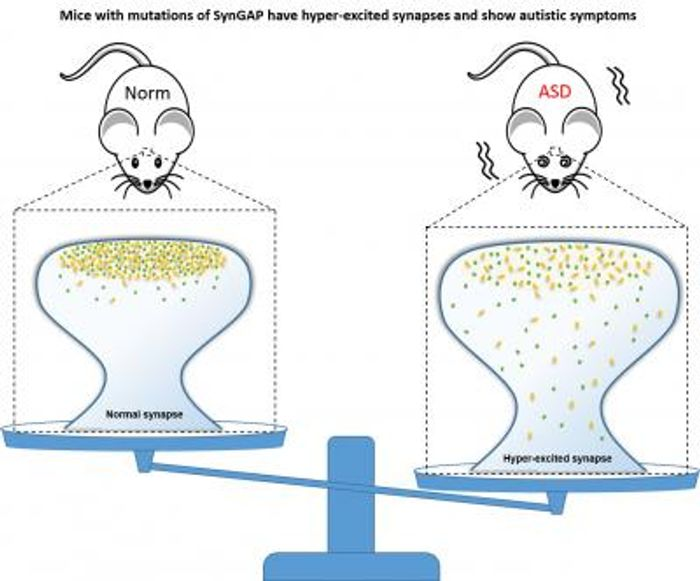 Mice carrying SynGAP mutations have hyper-excited synapses and show autistic symptoms. / Credit: Division of Life Science, HKUST