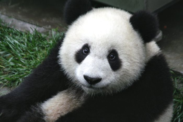 """There's a light at the end of the tunnel for the Giant Panda, as the IUCN unmarks the species as """"endangered,"""""""