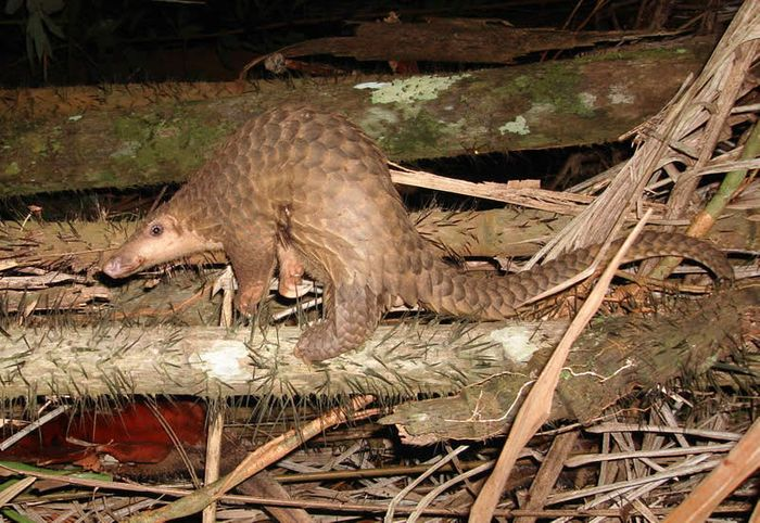 Pangolin scales are valuable, making the creature one of the world's highest-poached animals.