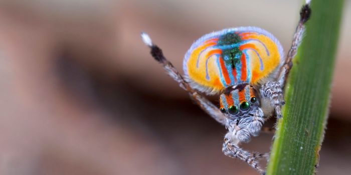 A peacock spider.