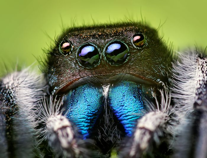 Jumping spiders are better at hearing than originally thought.
