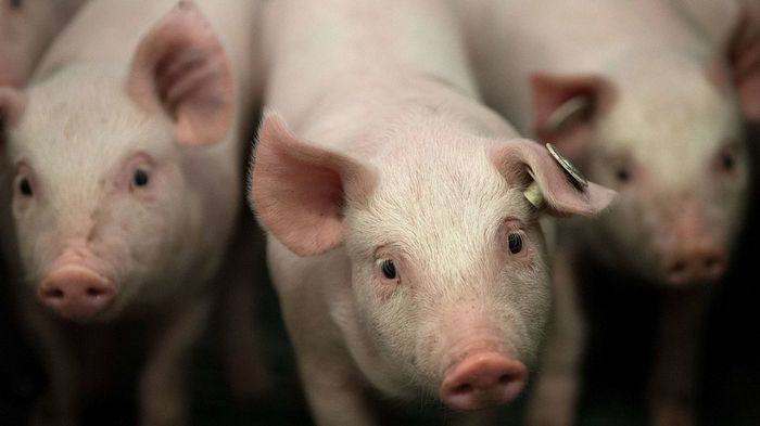 Could the Pigs be Our Dependable Organ Source?