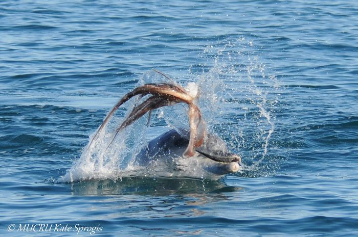 A research team captures footage of a bottlenose dolphin violently handling its prey prior to eating it.