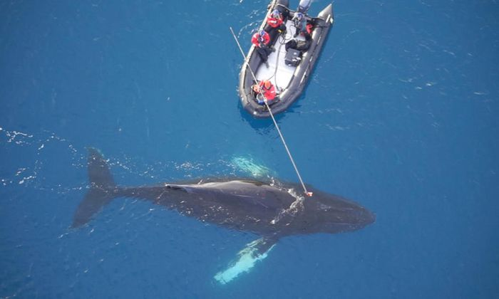 Researchers attach a suction cup-based surveillance system to the back of a humpback whale.
