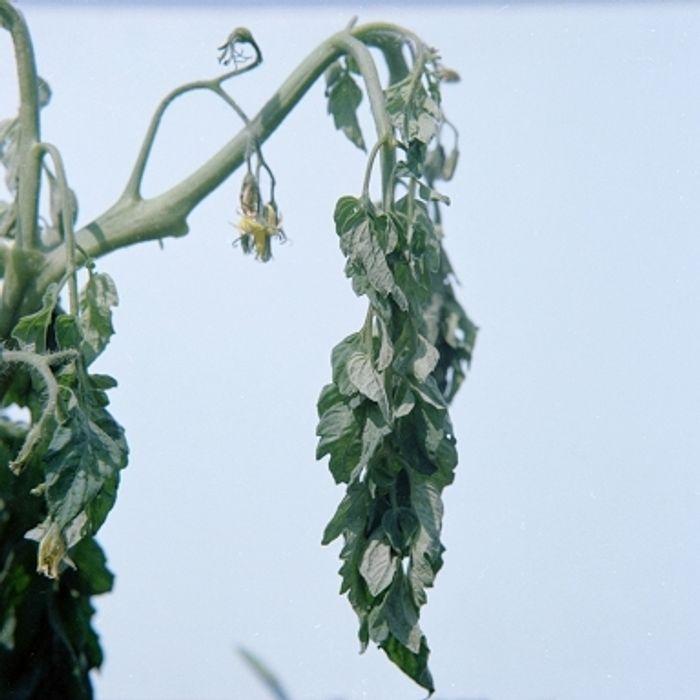 Bacterial wilt caused by R. solanacearum.