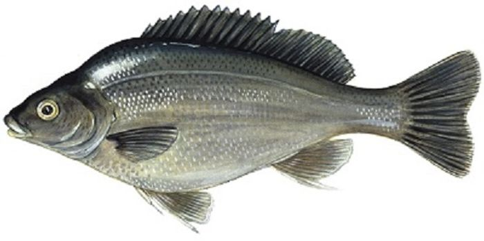 Silver scales on fish may help them to evade predators, acting as a type of universal camouflage underwater.