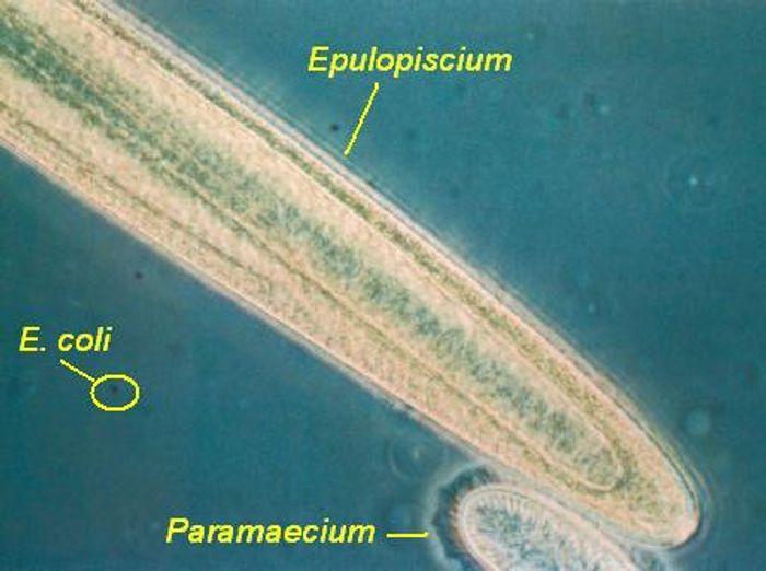 Epulopiscium dwarfs this E. coli cell.