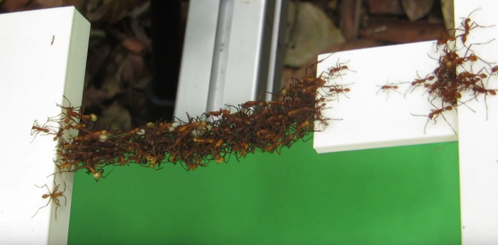 Army ants are seen interlocking with one another to create a bridge.