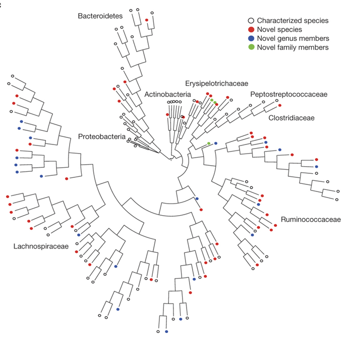 Phylogenetic tree of bacteria cultured from the six donors constructed from full-length 16S rRNA gene sequences. Novel candidate species (red), genera (blue) and families (green) are shown by dot colors. Proteobacteria were not cultured, but were included for context.