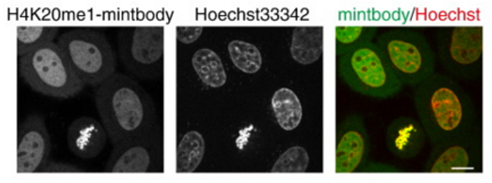 The localization of H4K20me1-mintbodies in living cells. / Credit: Journal of Molecular Biology Sato et al
