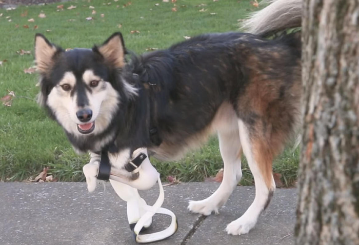 Derby and his new set of 3D-printed legs.