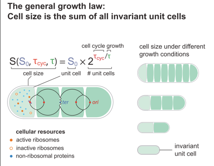 "Graphical abstract, Si et al Current Biology 2017 - a ""quantitative coordination principle of bacterial cell size control under any growth condition"""