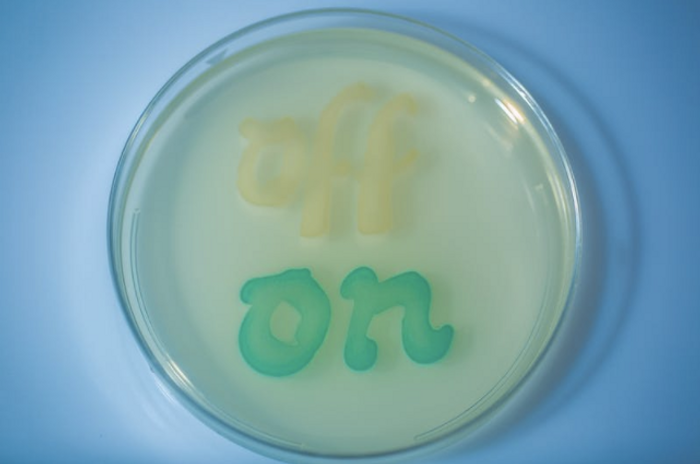 Engineered bacteria not exposed to inflammation don't turn on a memory circuit and so remain colorless. When tetrathionate is present, the memory circuit turns on, the engineered bacteria color blue. / Credit: Wyss Institute and Harvard Medical School.
