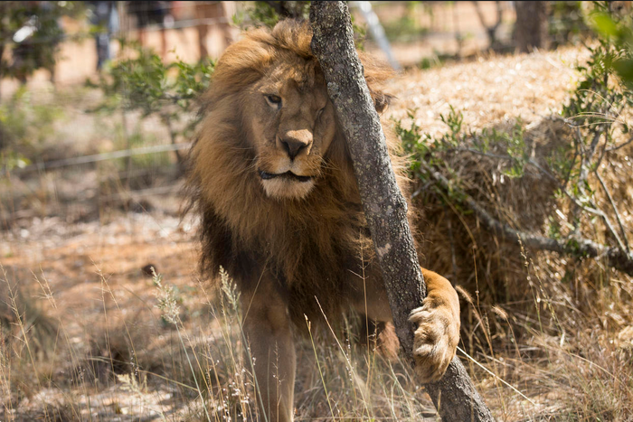 A lion at the animal sanctuary.