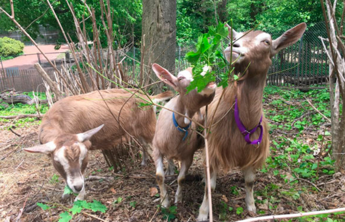 Three of the employed goats at Brooklyn's Prospect Park pose for a picture.