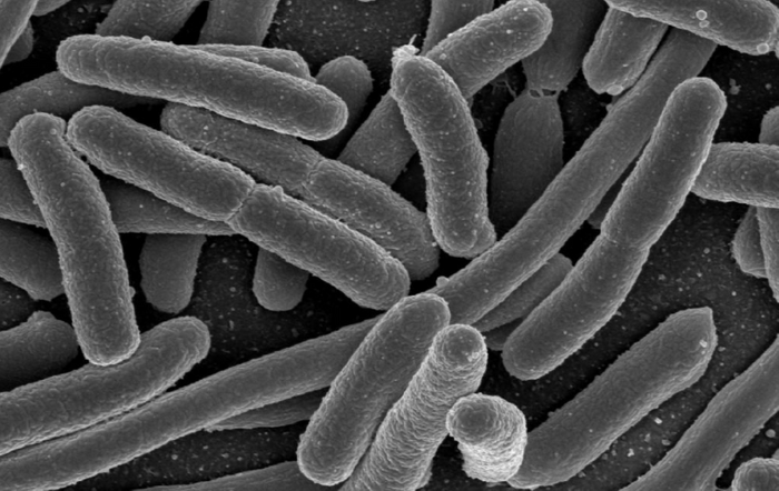 Escherichia coli, one of the many species of bacteria present in the human gut / Credit: Rocky Mountain Laboratories, NIAID, NIH - NIAID