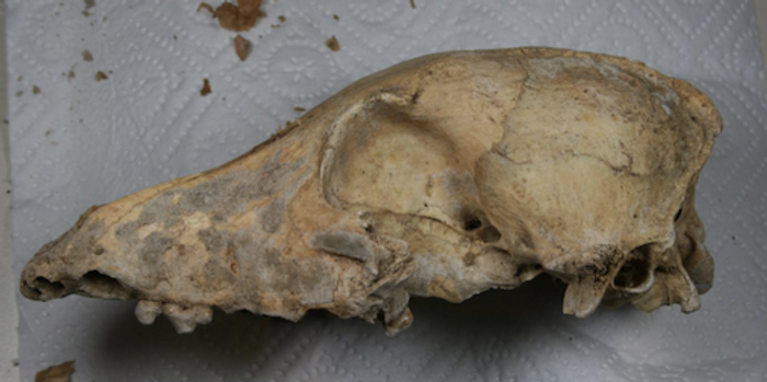 The skull of the 4,700-year-old Neolithic dog found in the Kirschbaumhöhle (Cherry Tree Cave) in the lab, shortly before the animal's entire genome was sequenced. / Credit: photo/©: Amelie Scheu, Johannes Gutenberg University Mainz