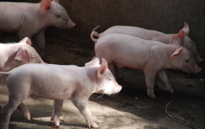 Piglets / Credit: Publicdomainpictures