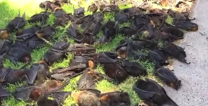 Grey-headed flying foxes lay lifeless on the gound after Southern Australia's devastating heat wave.