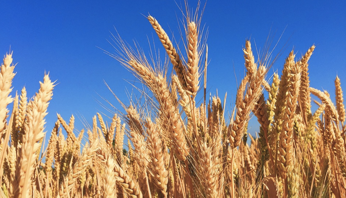 Wheat contains gluten, as well as fructan. / Image Credit: Pixabay
