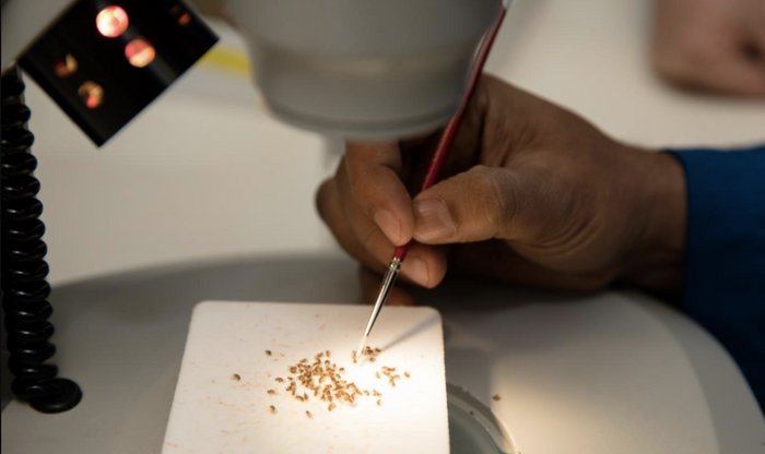 First author Mahul Chakraborty looks through several specimens of fruit flies to identify new phenotypes. / Credit: UCI