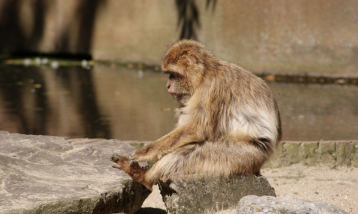 Rhesus macaques were one of several non-human primates used in this study / Image credit: Pixabay