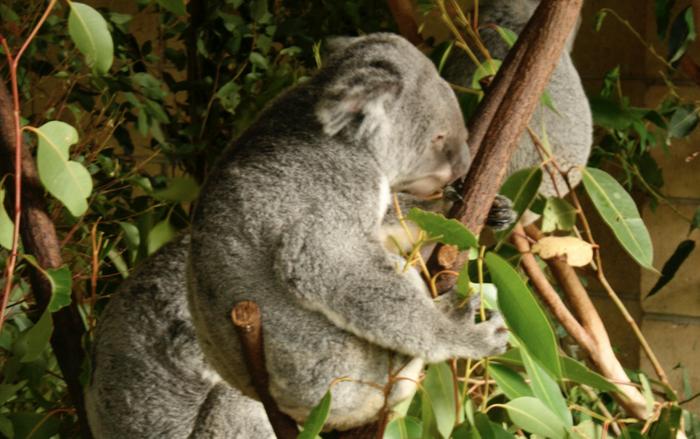 Koala / Credit: Carmen Leitch