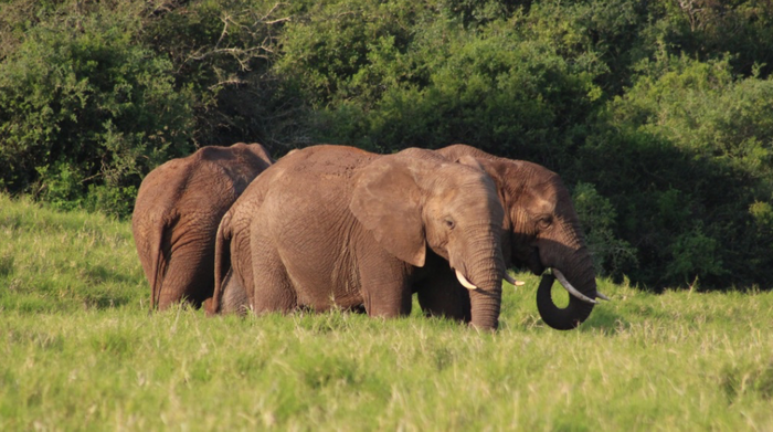 African elephants at Addo National Park in South Africa / Credit: Carmen Leitch