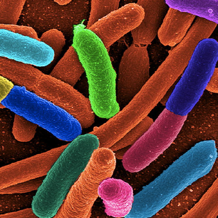 E. coli is a common bacterium used for this work. / Image credit: Wikimedia Commons/Mattosaurus